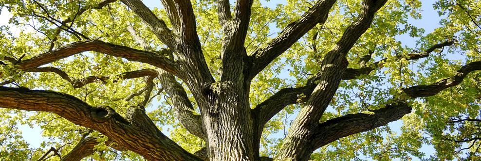 大木のうねり